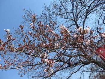 053すのまた桜開花標準木.JPG